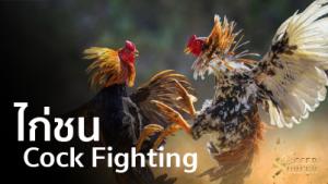 cock fight ตีไก่ ไก่ชน